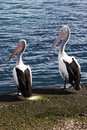 Two pelicans looking to the left Royalty Free Stock Photo
