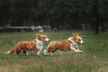 Two pembroke welsh corgi puppies running Royalty Free Stock Photo