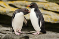 Two penguin. Rockhopper penguin, Eudyptes chrysocome, in the rock, water with waves, birds in the rock nature habitat, black and Royalty Free Stock Photo