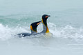 Two penguin swimming in the sea water. King penguin, big bird jumps out of the blue water while swimming through the ocean in Falk Royalty Free Stock Photo