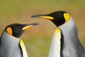 Two penguins. King penguin couple cuddling, wild nature, green background. Two penguins making love. in the grass. Wildlife scene