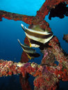 Two pennant bannerfish in an artificial reef system off the coast of mabul island Royalty Free Stock Photos
