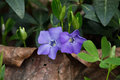 Two periwinkle flower Royalty Free Stock Photo