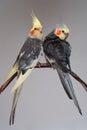 Two Pet Birds Cockatiel