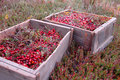 Two Picturesque Crates of Cranberries Royalty Free Stock Photos