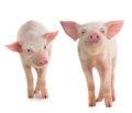 Two pig Royalty Free Stock Photo