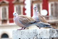 Two Pigeon Royalty Free Stock Images