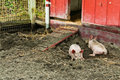 Two Piglets Rooting Royalty Free Stock Photo