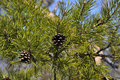 Two pine cones on a branch in sunny spring day Royalty Free Stock Photos
