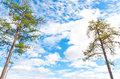 Two pine trees against blue sky Royalty Free Stock Images