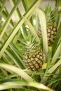 Two pineapple plants growing in tropical destination nature Stock Photography