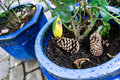 Two pinecone laying in pot with plant Royalty Free Stock Photo