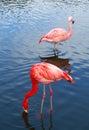 Dos rosa aves