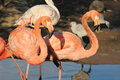 Two pink flamingo standing Royalty Free Stock Photos