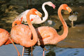 Two pink flamingo standing Stock Photography