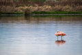 Two pink flamingos stand in the water. Shevelev.