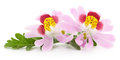 Two pink flowers. Royalty Free Stock Photo