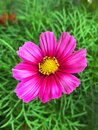 Two pink flowers, blooming spring flowers, pink petals in green leaves, flowers in the garden Royalty Free Stock Photo