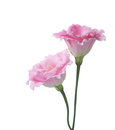 Two pink flowers Royalty Free Stock Photo