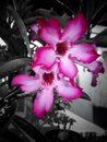 Two pink flowers at night Royalty Free Stock Photo