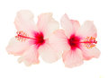 Two pink hibiscus flowers Royalty Free Stock Photo