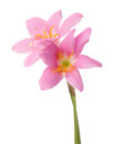 Two pink lilies Royalty Free Stock Photo