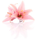Two pink lilies. Royalty Free Stock Photo