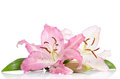 Two pink lily flowers Royalty Free Stock Photo