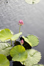 Two Pink Lotus Flowers Growing in the Middle of a Pond in the Garden Surrounded by Lily Pads Royalty Free Stock Photo
