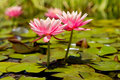 Two Pink Lotus Flowers in Lily Pond Royalty Free Stock Images