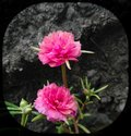 Two pink moss rose flowers blooming in the garden, flowering plant, cement stairs background Royalty Free Stock Photo