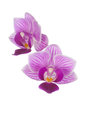Two pink orchids Royalty Free Stock Photo