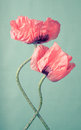 Two pink poppy flowers on a green background vintage Stock Image