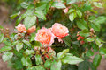 Two pink roses on the bush Royalty Free Stock Photo
