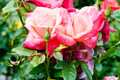 Two pink roses Royalty Free Stock Photo