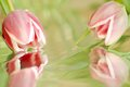 Two pink tulips with reflection Royalty Free Stock Photo