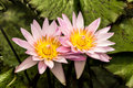 Two Pink Waterlillies Royalty Free Stock Photo