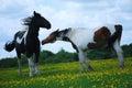 Two pinto horses play Royalty Free Stock Photo