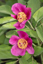 Two pions pink peonies in spring garden close up Royalty Free Stock Image