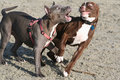 Two Pit Bull Terriers at Play Stock Photography