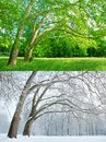 Two plane trees in two seasons - Summer and Winter Royalty Free Stock Photo