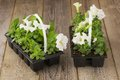 Two plastic flowerpots with white petunia seedlings on the aged wooden table. Royalty Free Stock Photo