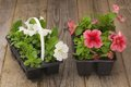 Two plastic flowerpots with white and pink petunia seedlings on the aged wooden table. Royalty Free Stock Photo