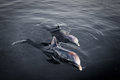 Two playful dolphins at dawn in gray water artistic shot Stock Photography