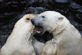 Two playful polar bears in a zoo and fighting white bear ursus maritimus are the largest land carnivore and largest bear Stock Image