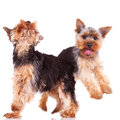 Two playful yorkshire puppy dogs Stock Photo