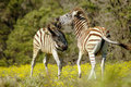 Two playful young zebra Royalty Free Stock Image