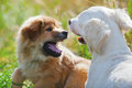 Two playing dogs Royalty Free Stock Photography