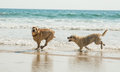 Two playing dogs Royalty Free Stock Photo