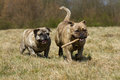 Two playing olde english bulldogs Royalty Free Stock Photography